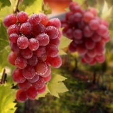 Фотообои - Виноградная лоза