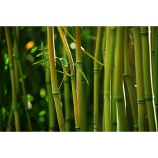 Фотообои - Бамбуковый лес
