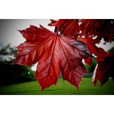Фотообои - Кленовый лист