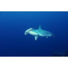 Фотообои - Акула-молот