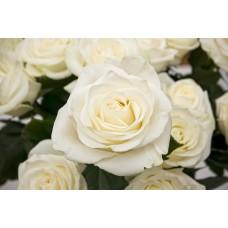 Фотообои - Белые розы