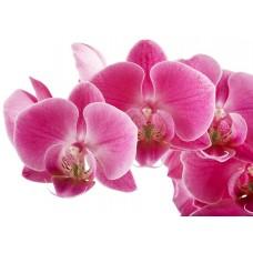 Фотообои - Орхидея на белом фоне
